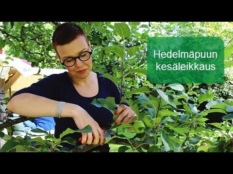 Hedelmäpuun kesäleikkaus / Muhevaisen Minuutti
