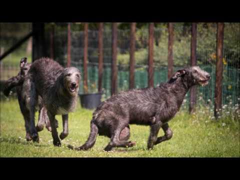 Deerhounds & Australian Terrier Zucht von den Grauen Anfurten