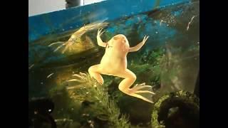 Мой аквариумный питомец лягушка Масяня. Минутка позитива.