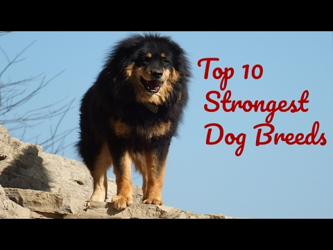 Top 10 Strongest Dog Breeds