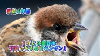 Episode-39 スズメのペンギンファミリーが今年度3回目の子育てをして巣...