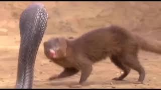 マングースとのキングコブラビッグバトル 動物の最も驚くべき攻撃.