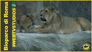 Al Bioparco di Roma sono nati due leoni asiatici #webtvstudios