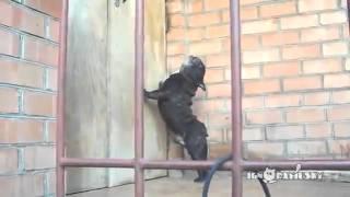 Мопс матерится возле закрытой двери! Приколы с животными