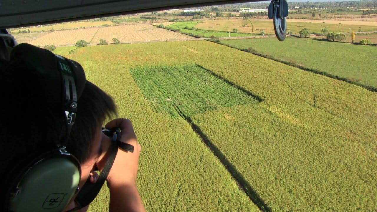 Pdi descubre gigantesca plantaci n de marihuana youtube - Plantaciones de marihuana interior ...