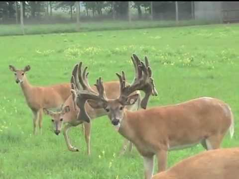 Giant whitetail buck grows antlers