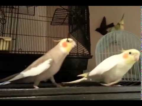 Whistle While You Work Cockatiels