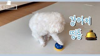 띵동=간식호출 | 말티즈 벤지 강아지 종