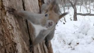 エゾリス・・・円山原始林にて 白いエゾリス 検索動画 25