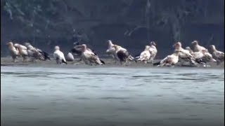 Over 50 Egyptian Vultures Spotted Near Yamuna In Delhi