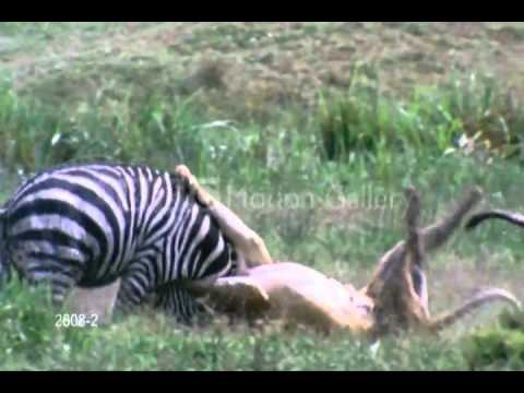 Tiger Animal Wallpaper The Tiger Is Attacking On Zebra Quickely Youtube