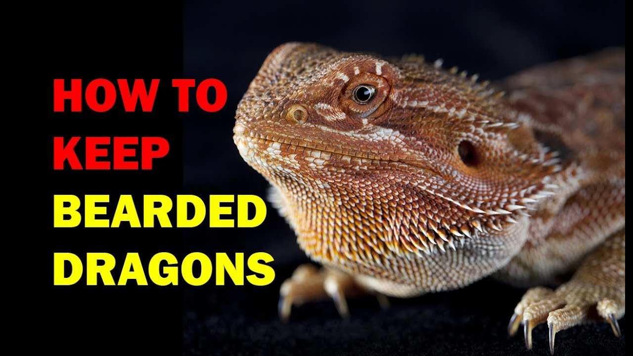 How to keep Bearded Dragons - Weird and Wonderful Pets ...