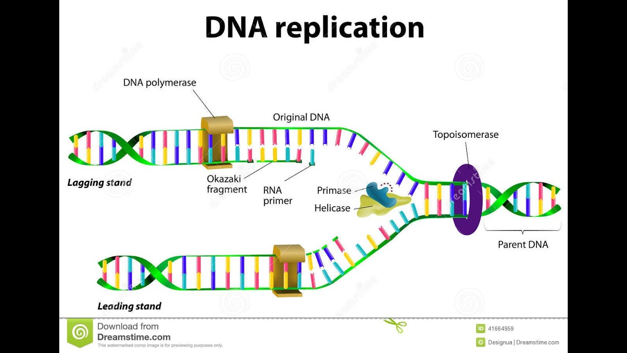 Dna Replication Diagram How Nucleotides...