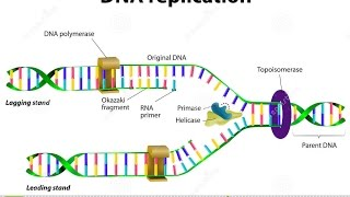 Video is an animated explanation of how nucleotides are added in dna replication.