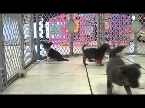 Chihuahua, Puppies, Dogs, For Sale, In Newark, New Jersey, NJ, 19Breeders, Paterson, Edison