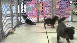 Chihuahua, Puppies, For, Sale, In, Newark, New Jersey, Nj, Woodbridge, Iselin, Pleasantville, Rosell