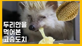 durian-eating hedgehog
