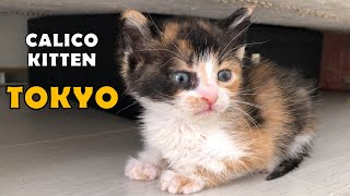 Abandoned calico kitten Tokyo, got used to the house.