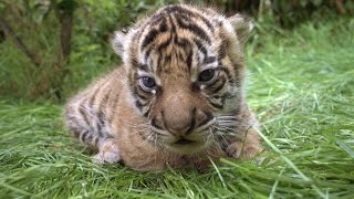 CUTE ALERT! Up Close With Tiger Cubs by : ZSL - Zoological Society of London