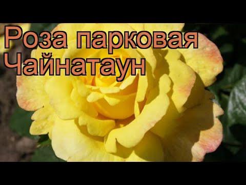 Роза парковая Чайнатаун (rose chinatown) 🌿 роза Чайнатаун обзор: как сажать саженцы розы Чайнатаун