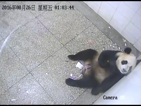 Giant Panda Gives Birth to Cub at Sichuan Base