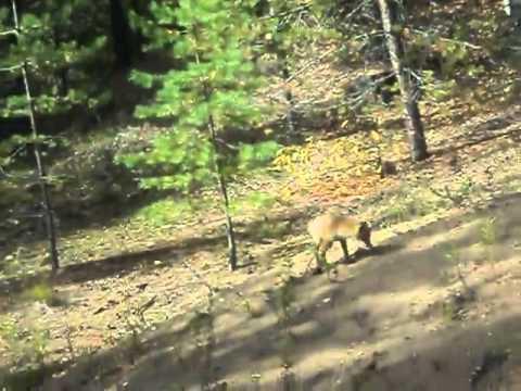 Жители Котельнича сняли на видео играющего лисенка