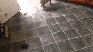 Cairn Terrier Barking At Toy Rat