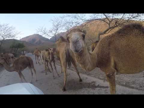 More than 100 camels blocking our road in Oman close to Salalah January 2017