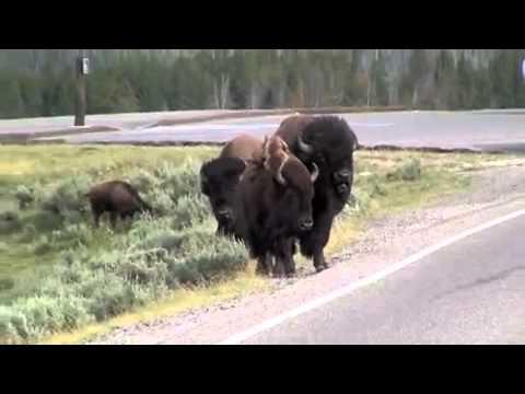 Yellowstone bison rams a minivan