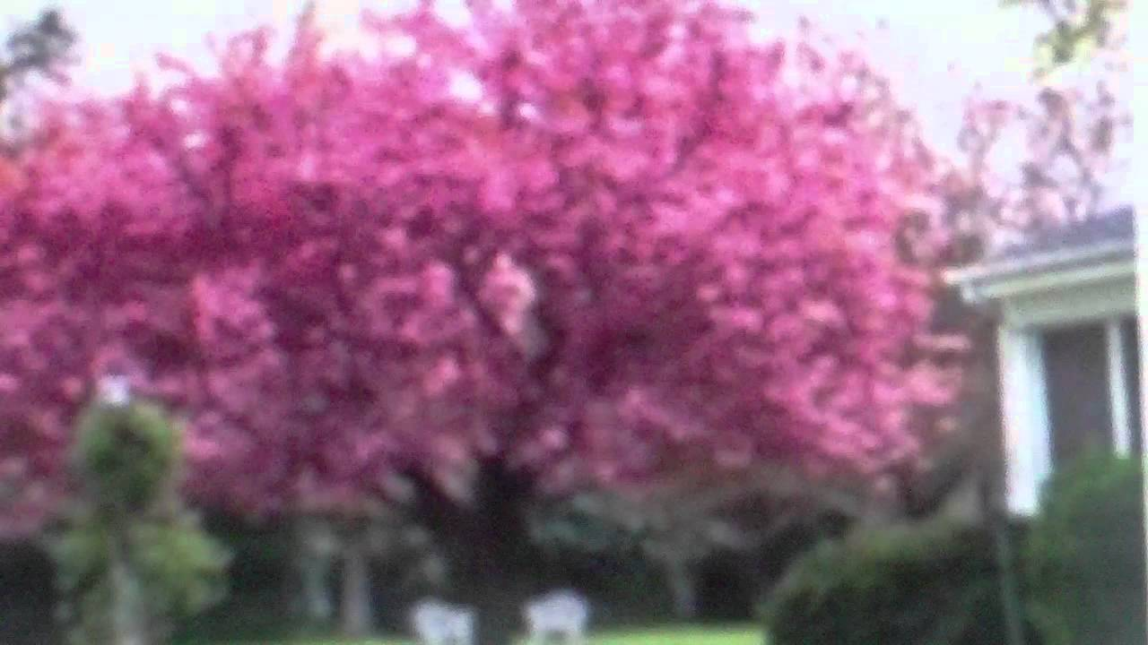 Kwanzan cherry trees for sale youtube for Cherry trees for sale