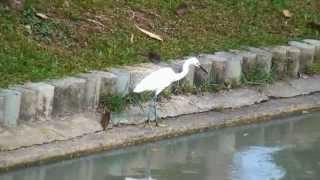 Малая белая цапля. Little Egret
