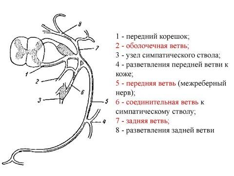 Образование спинномозговых нервов, их передние и задние ветви.  Шейное сплетение и его ветви