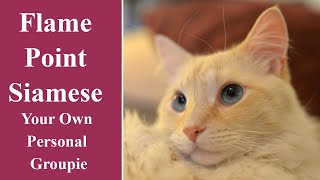 Flame Point Siamese   Your Own Personal Groupie
