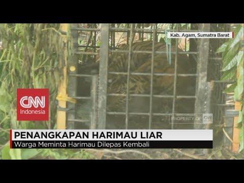 Harimau Sumatra Ditangkap karena Meresahkan Warga