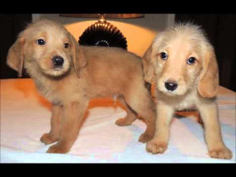Labradoodle Puppies Miniature F1 Labradoodles Youtube