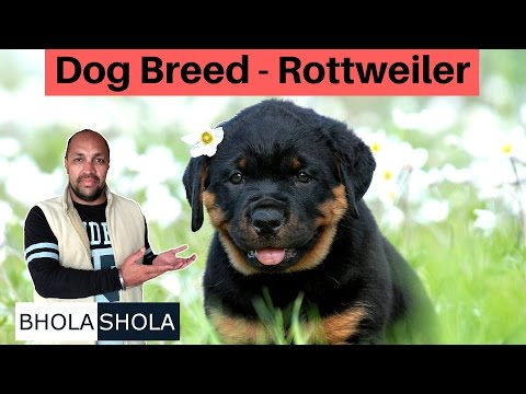 dog-breed---know-about-rottweiler-dog-|-puppy-|-good-for-family-and-safe-?---bhola-shola