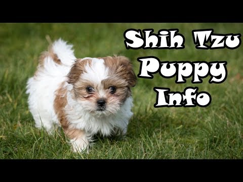 Shih Tzu Puppy Information - Caring after your dog!