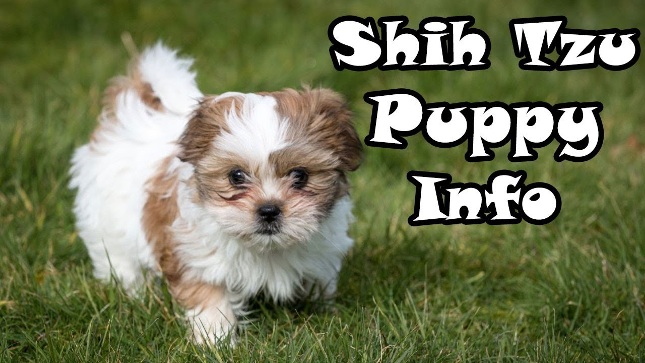 Shih Tzu Puppy Information Caring After Your Dog Youtube