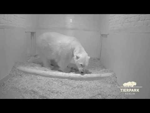 Eisbär-Nachwuchs im Tierpark Berlin - Polar bear cub born in Tierpark Berlin