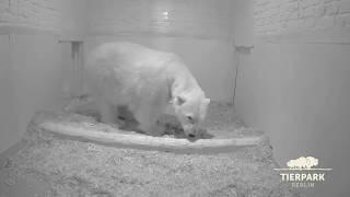 Eisbär-Nachwuchs im Tierpark Berlin - Polar bear cub born in Tierpark Berlin thumbnail