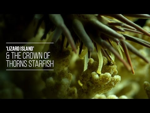 Liazrd Island & The Crown Of Thorns Starfish - Attenboroughsreef.com