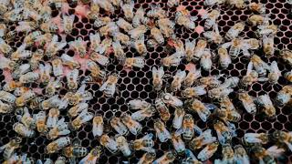 Honeybee Queen Laying Eggs - Stewart Spinks at the Norfolk Honey Co.