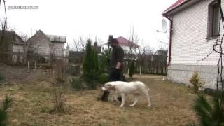 Приучение к поводку шестимесячного щенка среднеазиатской овчарки Инары