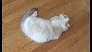 Ragdoll Cat First Time In Heat!