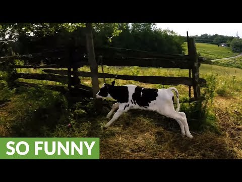 Newborn calf bounces with joy after feeding time