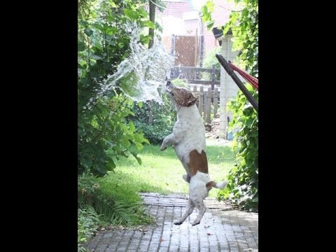 Jack Russell Terrier vs Water Balloons