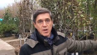 видео весенняя обрезка груши сроки