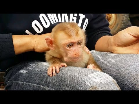Cute Baby Monkey Eating Sausage With Father