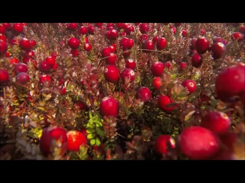 Cranberry Harvest 2014 Flooding & Beating Off the Berries
