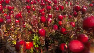 CRaNE - Strawberry Picking